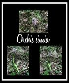 Orchis simia — Stock Photo