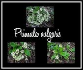 Primula vulgaris — Stock Photo