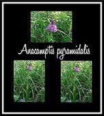 Anacamptis pyramidalis — Stock Photo