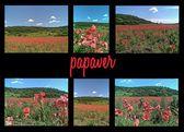 Papaver — Foto Stock