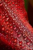Tropfen auf einem roten — Stockfoto