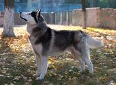 Husky dog pedigrees — Stock Photo