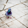 Pigeon walking on tiled street — Stock Photo