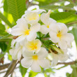 Tropical flowers frangipani — Stock Photo #32025229