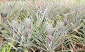Ananas na poli tropické ovoce. — Stock fotografie