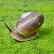 Snail in moss field — Stock Photo