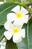 Tropical flowers frangipani — Stock Photo