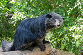 Rare and amusing animal - binturong — Stock Photo