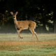 Deer Sunrise - Stock Photo