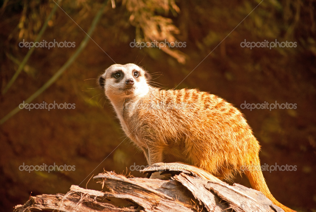 A Meerkat pauses for a portrait — Stock Photo #17817527