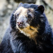 Royalty-Free Stock Photo: Bear portrait