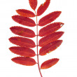Autumn red rowan leaves isolated - Stock Photo