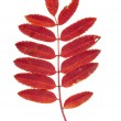Autumn red rowan leaves isolated — Stock Photo