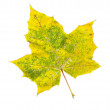 Autumn maple-leaf, isolated on a white background — Stock Photo