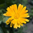 Calendula — Stock Photo