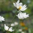 White garden camomile — Stock Photo