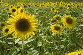 Amarillo girasol — Foto de Stock