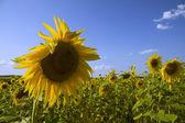 Gold sunflower — Stock Photo
