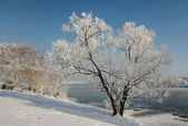 Lonely winter tree covered with frost. — Stock Photo