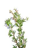 Flowering rosemary bush — Stock Photo
