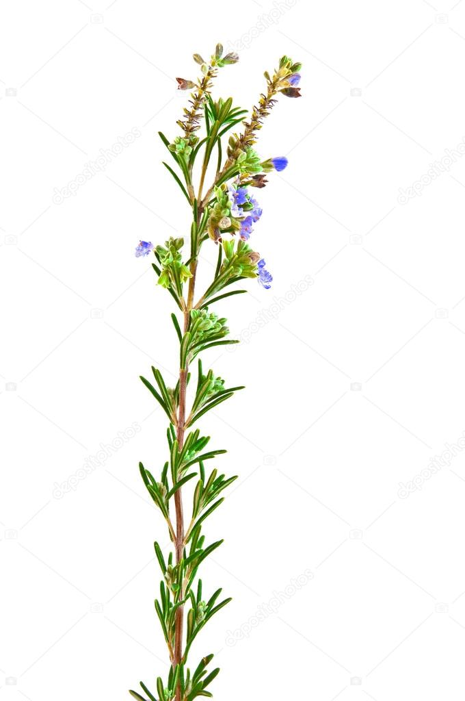 Sprig of rosemary with blue flowers shot against a white background — Stock Photo #17684045