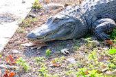 Crocodile smile — Stock Photo