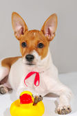 A dog with a red ribbon — Stock Photo