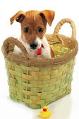 Perro pequeño con un juguete — Foto de Stock