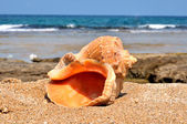 Shell in the sand — Stock Photo