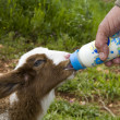 Hand feeding lambs - Stock Photo