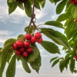 Cherry — Stock Photo #29357091
