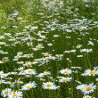 Daisies — Stock Photo #29357105