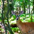 Roe deer in the woods — Stok fotoğraf
