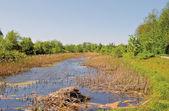 ördek marsh — Stok fotoğraf