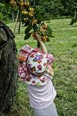 Yellow cherry 2 — Stock Photo