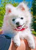Small spitz — Stock Photo