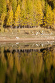 Yellow trees in the lake — Stock fotografie