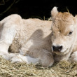 Young cow — Stock Photo #20882741