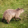 Capybara — Stock Photo #20883933