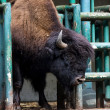 Bison - Stock Photo