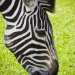 Zebra — Stock Photo #21373777