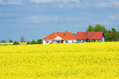 Golden yellow rape field — Stock Photo