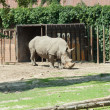 Rhino on the catwalk at the zoo — Stock Photo