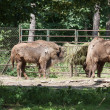 Bison in zoo eating hay — Stock Photo