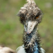 Stock Photo: Portrait of an ostrich