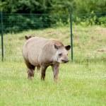 Tapir mammal at the zoo — Stock Photo