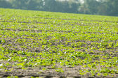 Sown field on a sunny day — Stock Photo