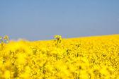 Golden yellow rape field — Stock Photo
