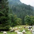 Sheep on a pasture in the mountains — Stock Photo #37721125