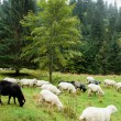Sheep on a pasture in the mountains — Stock Photo